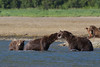 Brown bears (Ursus arctos) Fighting, Katmai Coast, Alaska