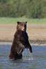 Standing Brown bear (Ursus arctos), Geographic Harbor, Katmai Coast, Alaska