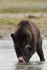 Brown bear (Ursus arctos), Katmai Coast, Alaska