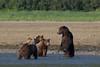 Brown bears (Ursus arctos), Katmai Coast, Alaska
