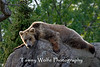 Brown Bear (Ursus arctos), Minnesota Zoo