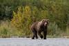 Brown bear (Ursus arctos), Boar, Kukak Bay, Katmai National Park, Alaska