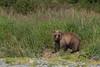 """Roly Poly"" Well-fed Brown bear (Ursus arctos) Cub, Geographic Harbor, Katmai National Park, Alaska"