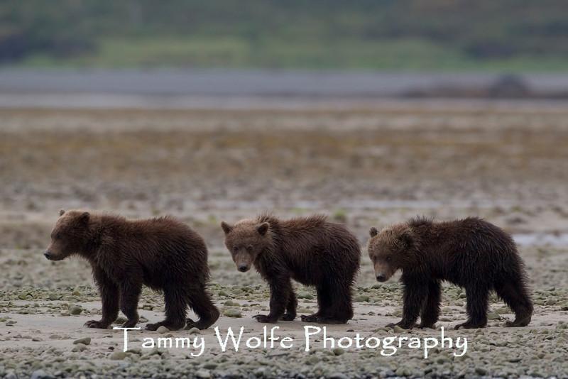"""Three Bears"" Three Brown bear (Ursus arctos) cubs, Katmai Coast, Alaska"
