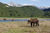 Brown bear (Ursus arctos), Geographic Harbor, Katmai National Park, Alaska