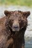 Brown bear (Ursus arctos) portrait, Katmai Coast, Alaska