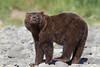 Sniffing Brown bear (Ursus arctos) Cub, Katmai Coast, Alaska