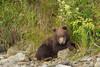 Spring Brown Bear Cub (Ursus arctos), Katmai Coast, Alaska
