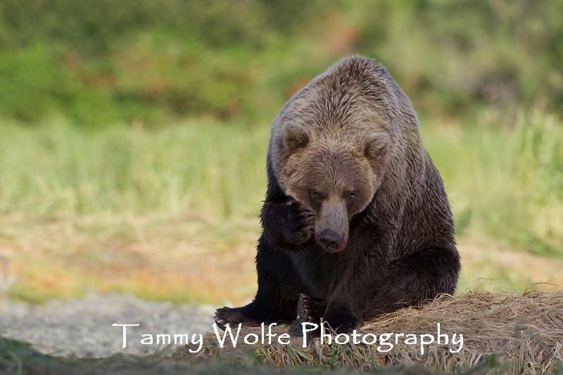Sitting Brown bear (Ursus arctos), Geographic Harbor, Katmai National Park, Alaska