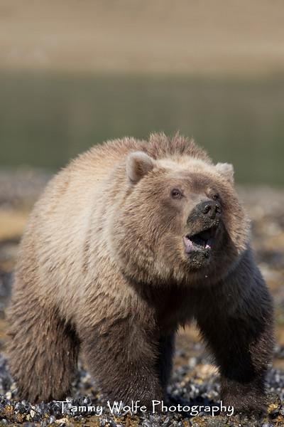 Clamming Brown Bear (Ursus arctos) Cub, Katmai Coast, Alaska