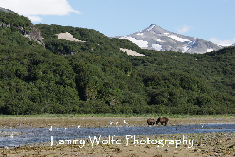 Brown bears (Ursus arctos), Clamming Sow and Cub, Geographic Harbor, Alaska
