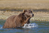 Dripping Brown bear (Ursus arctos), Geographic Harbor, Katmail National Park, Alaska