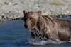 Brown bear (Ursus arctos) with dripping water, Katmai Coast, Alaska
