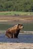 Brown bear (Ursus arctos) eliminating, Katmai Coast, Alaska