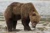 Brown bear (Ursus arctos) Digging, Kinak Bay, Katmai National Park, Alaska