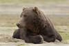 Brown bear (Ursus arctos), Kinak Bay, Katmai National Park, Alaska