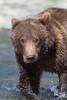 Brown bear (Ursus arctos) yearling cub, Geographic Harbor, Katmai National Park, Alaska
