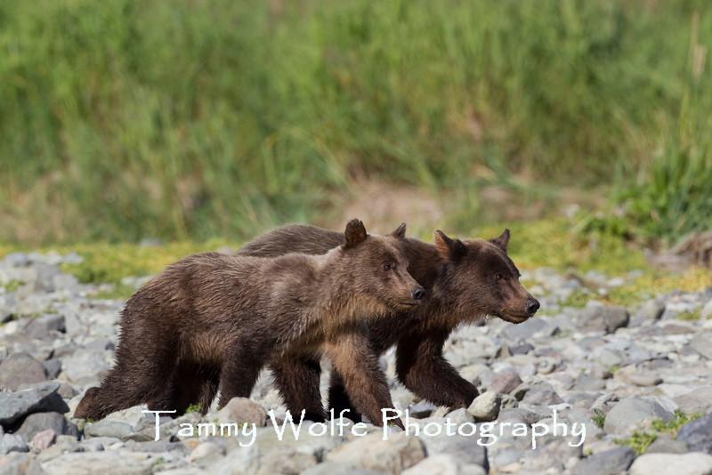 Scrawny Brown bear (Ursus arctos) yearling cubs, Katmai Coast, Alaska