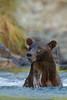 Wet Brown bear (Ursus arctos), Kinak Bay, Katmai National Park, Alaska