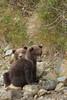 Brown Bear (Ursus arctos) Cubs, Katmai Coast, Alaska