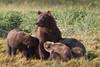Nursing Brown Bear (Ursus arctos) with Cubs, Katmai Coast, Alaska