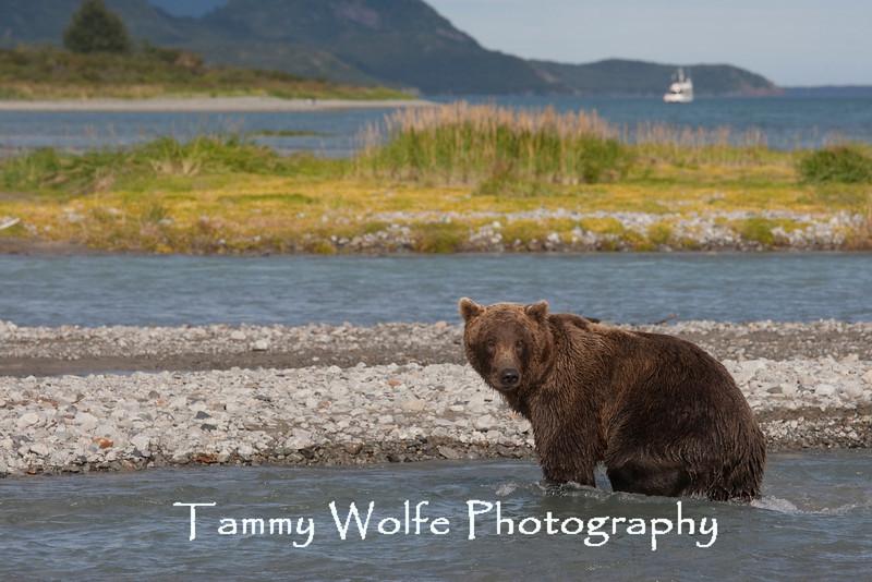 Brown bear (Ursus arctos), Kukak Bay, Katmai National Park, Alaska