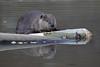North American Beaver (Castor canadensis), Colorado