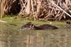 Muskrat (Ondatra zibethicus) Swimming