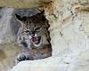 Bobcat Snarl* (#4400)