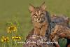 Bobcat Kitten in northern Minnesota* (Photo #1521)