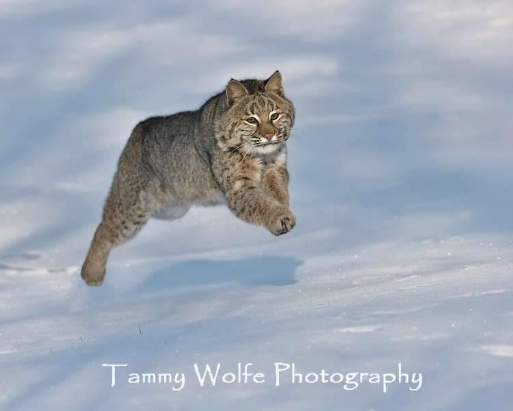 Bobcat in northern Minnesota*
