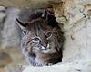 Bobcat* (#4343)