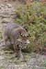 Bobcat* (#8941)