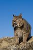 Bobcat*