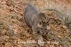 Bobcat* (#8891)