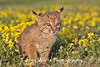 Bobcat kitten in northern Minnesota*