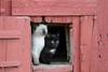 Domestic Cat (Felis catus) on Farm