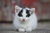 Domestic Cat (Felis catus)
