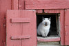Domestic Cat (Felis catus) on Farm