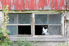 Domestic Cat (Felis catus) in Barn Window