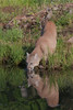 Cougar drinking*