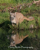 Reflecting Cougar*