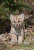 Cougar Kitten*