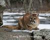 Crouching Cougar*