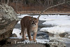 Cougar*