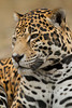 Male Jaguar (Panthera onca)*