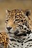 Male Jaguar (Panthera onca)*