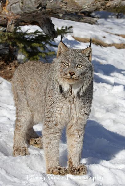 Canada Lynx in northern Minnesota*