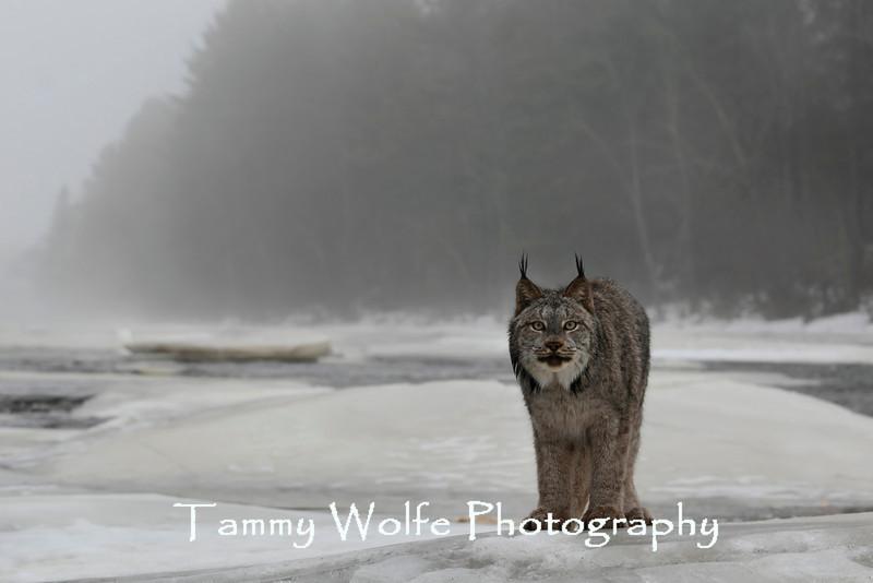 Canada Lynx (Lynx canadensis) on a foggy morning*