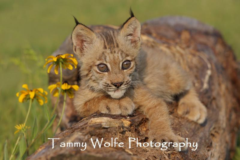 Canada Lynx kitten in northern Minnesota*